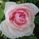 Picture of The Wedgewood Rose Std 80cm-Rose