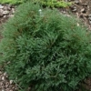 Picture of Thuja Ericoides