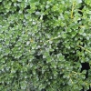 Picture of Thymus Emerald Carpet