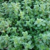 Picture of Thymus Lemon