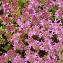 Picture of Thymus Ruby Carpet