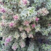 Picture of Thymus Silver Queen