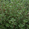 Picture of Thymus Vulgaris