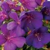 Picture of Tibouchina Groovy Baby