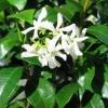 Picture of Trachelospermum Asiaticum
