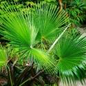 Picture of Trachycarpus Martianus