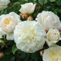 Picture of Tranquility Std 80cm-Rose