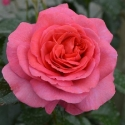 Picture of Truely Special Std 80 cm-Rose