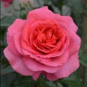 Picture of Truly Special-Rose