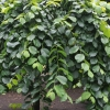 Picture of Ulmus glabra Pendula 2m