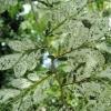 Picture of Ulmus parvifolia Variegata
