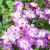 Picture of Veilchenblau Clg-Rose