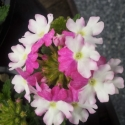 Picture of Verbena Rose White