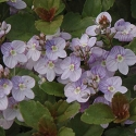 Picture of Veronica Waterperry Blue