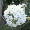 Picture of Viburnum Burkwoodii
