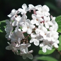 Picture of Viburnum Carlesii