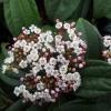 Picture of Viburnum Davidii Male