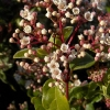 Picture of Viburnum Eve Price
