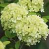 Picture of Viburnum Macrocephalum
