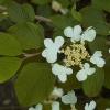 Picture of Viburnum Mariesii