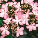 Picture of Viburnum Molly Schroeder
