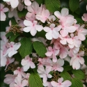 Picture of Viburnum Pink Beauty