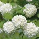 Picture of Viburnum Roseum