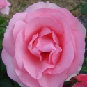 Picture of Vintage Candy Std 80cm-Rose