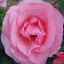 Picture of Vintage Candy-Rose