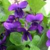 Picture of Viola Odorata Purple
