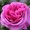 Picture of Waimarie Std 45cm-Rose