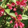 Picture of Weigela Florida Newport Red