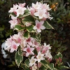 Picture of Weigela Florida Variegata