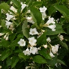 Picture of Weigela Snowflake