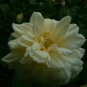 Picture of White Cecile Brunner-Rose