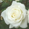 Picture of White Ensign-Rose