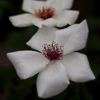 Picture of White Wings-Rose