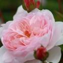 Picture of Wildeve Std 80cm-Rose