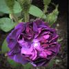 Picture of William Lobb-Rose