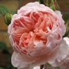 Picture of William Morris-Rose