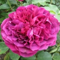 Picture of William Shakespeare 2000-Rose