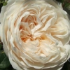 Picture of Windermere Std 80cm-Rose