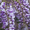 Picture of Wisteria Amethyst