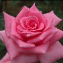 Picture of Wonder Our Amelia Std 80cm-Rose
