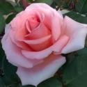Picture of Wonder Royal City Rose Std 80cm-Rose
