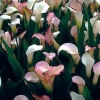 Picture of Zantedeschia Crystal Blush