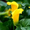 Picture of Zantedeschia Pot of Gold
